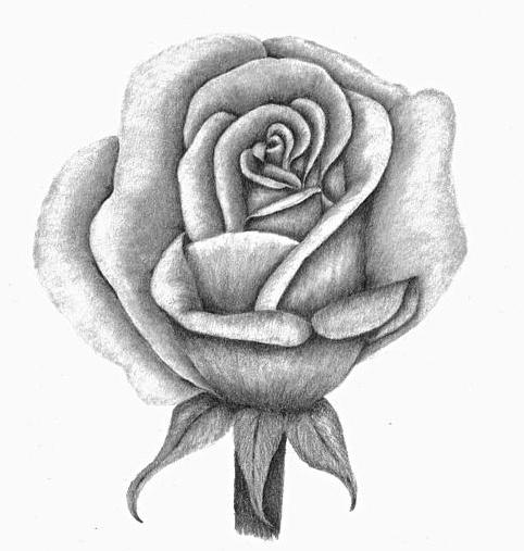 Cómo dibujar una rosa - Rosas para dibujar a lápiz