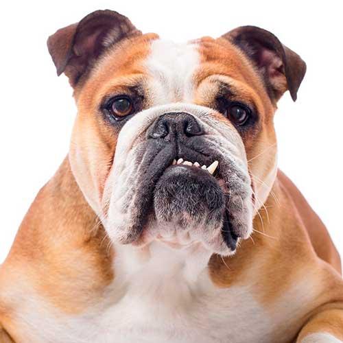 foto-de-perro-bulldog-para-dibujar