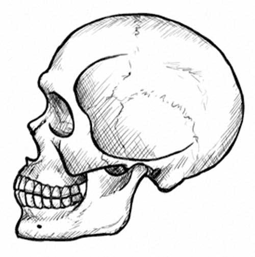 dibujo lateral de calavera